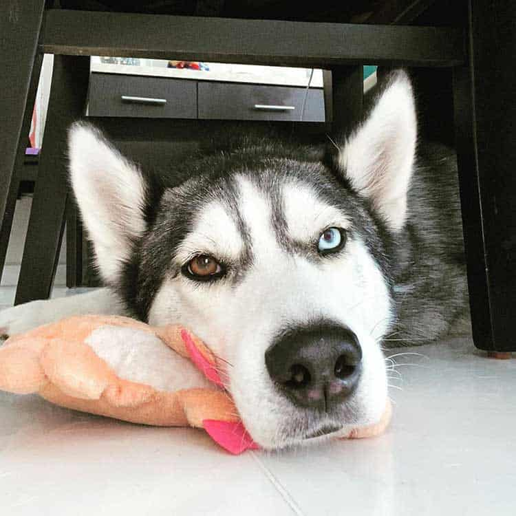 Senior husky dog with different eye color resting his head on the toy