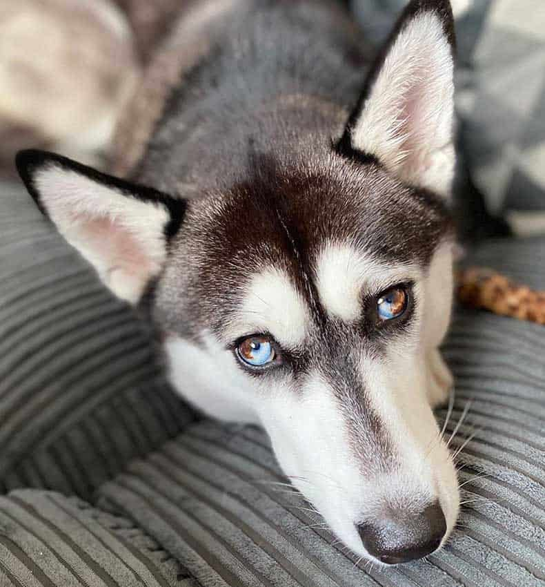 black and white husky with both eyes parti colored