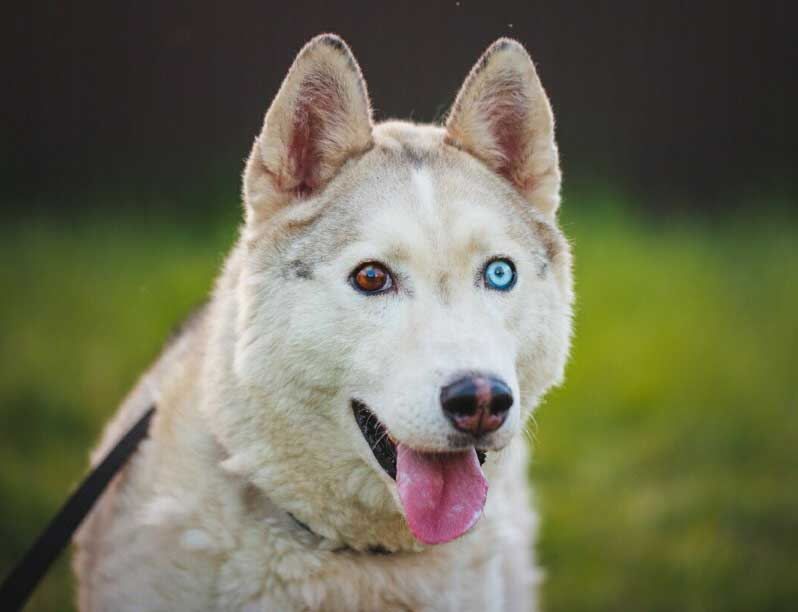 Husky with one blue eye and one brown eye