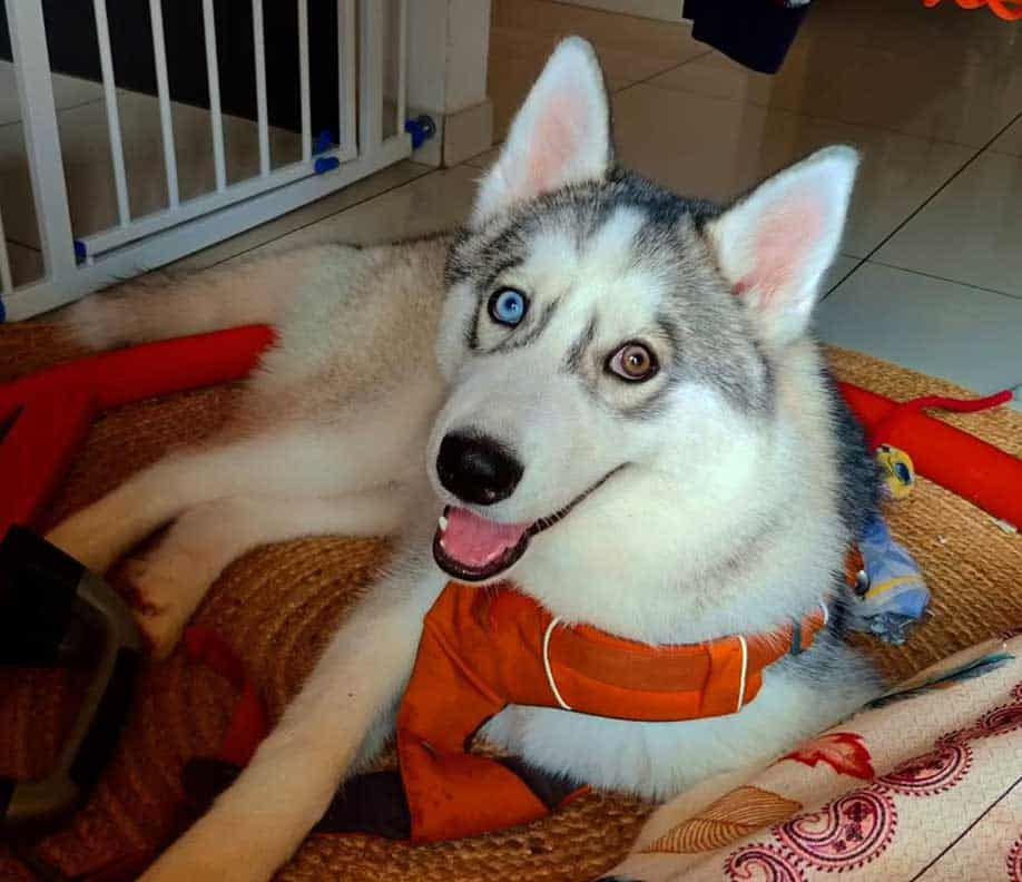 bi eyed husky wearing red harness resting on the floor