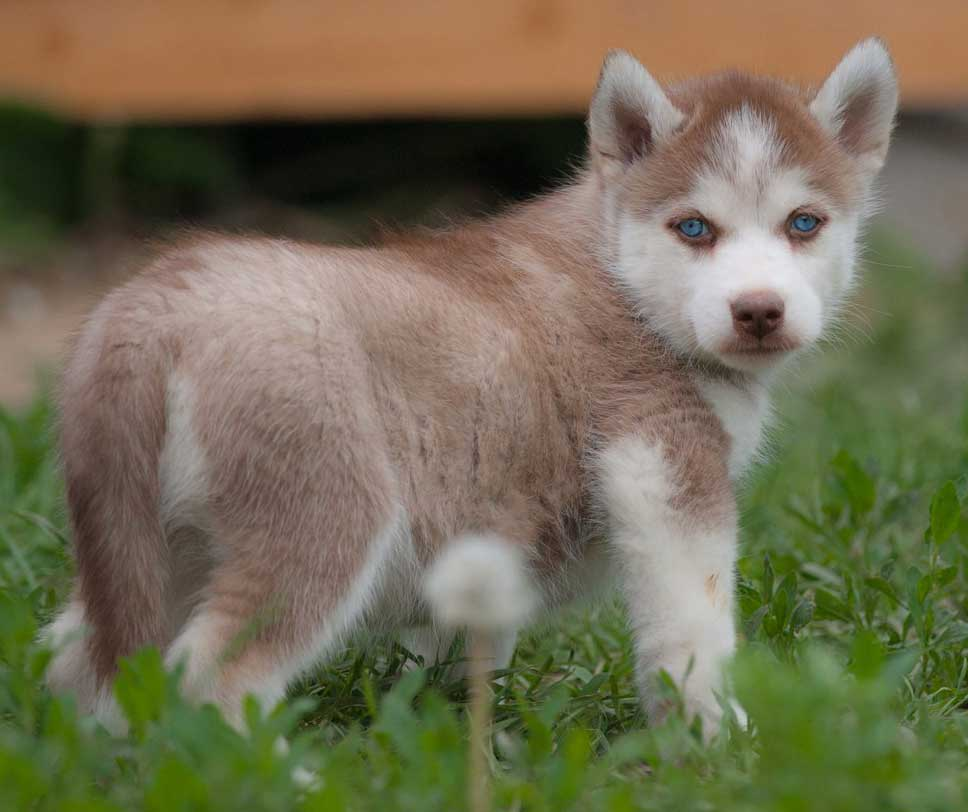 brown husky puppy with blue eyes walking in nature