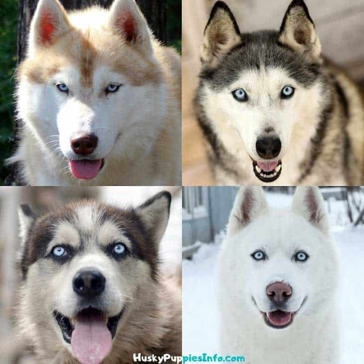 collage from four huskies with blue eyes