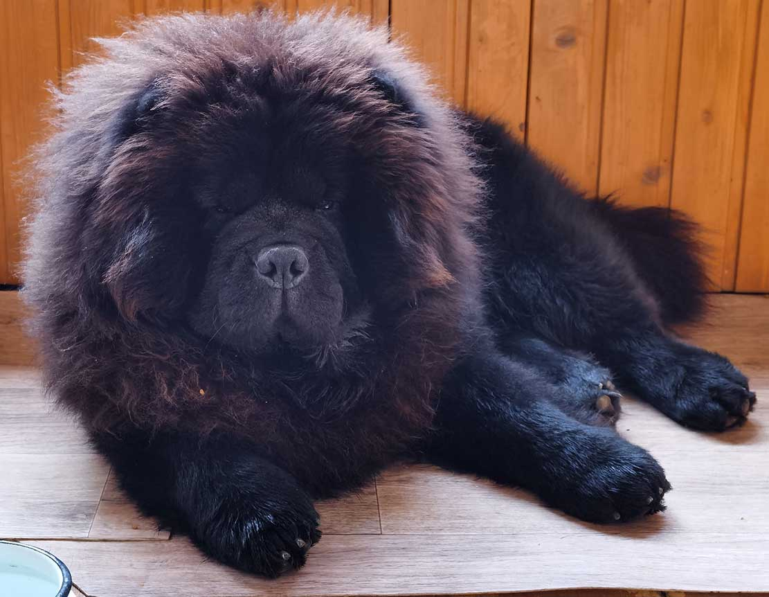 Black fluffy chow chow resting on the floor