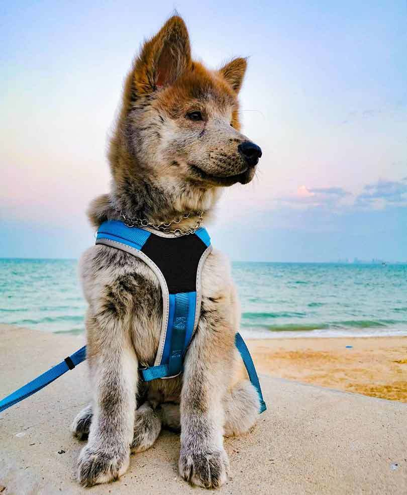 cream color chow chow husky mix puppy wearing blue harness sitting on the beach