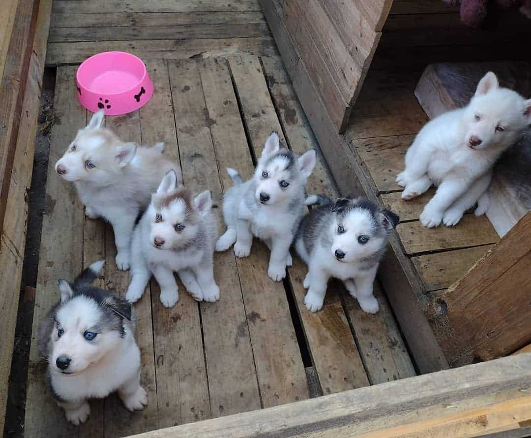 Six different colored miniature siberian huskies on the wooden floor