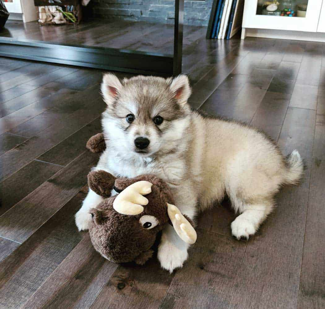 miniature husky playing with brown toy
