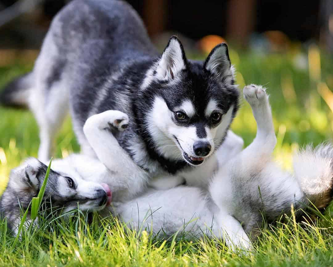 Two Alaskan Klee kais playing with each other on the grass