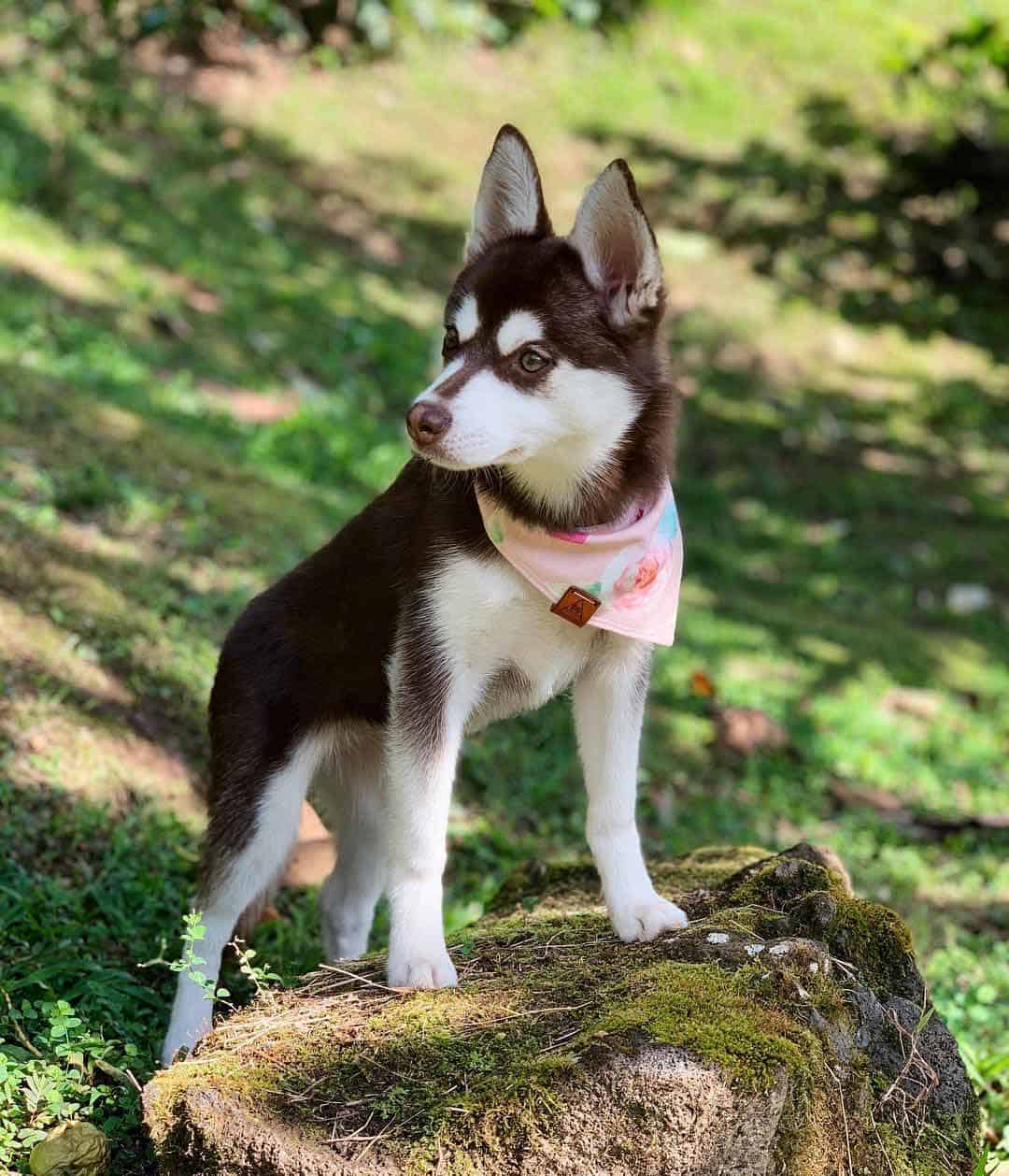 Red and white alaskan klee kai standing on the rock