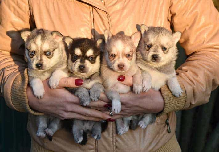 Four new born puppies of Alaskan Klee Kai holding by a breeder
