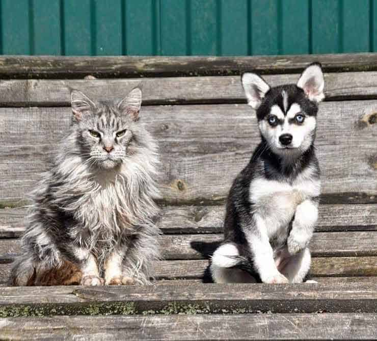 Black and white Alaskan Klee Kai puppy sit next to a fluffy grey cat