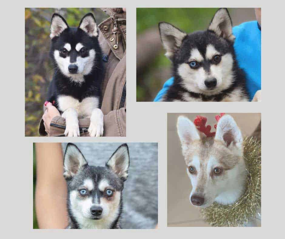 Four Alaskan Klee Kais with different eye colors collage