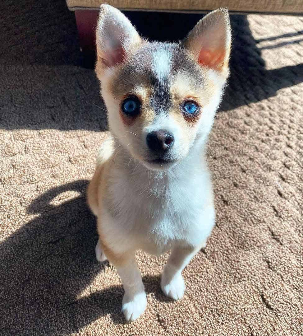 Toy size Alaskan Klee Kai with blue eyes and tan facemask