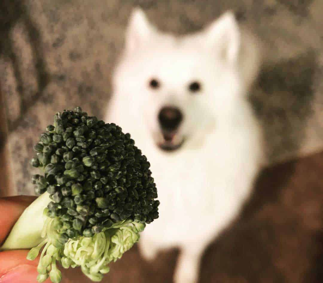 White husky looking up at the raw broccoli piece