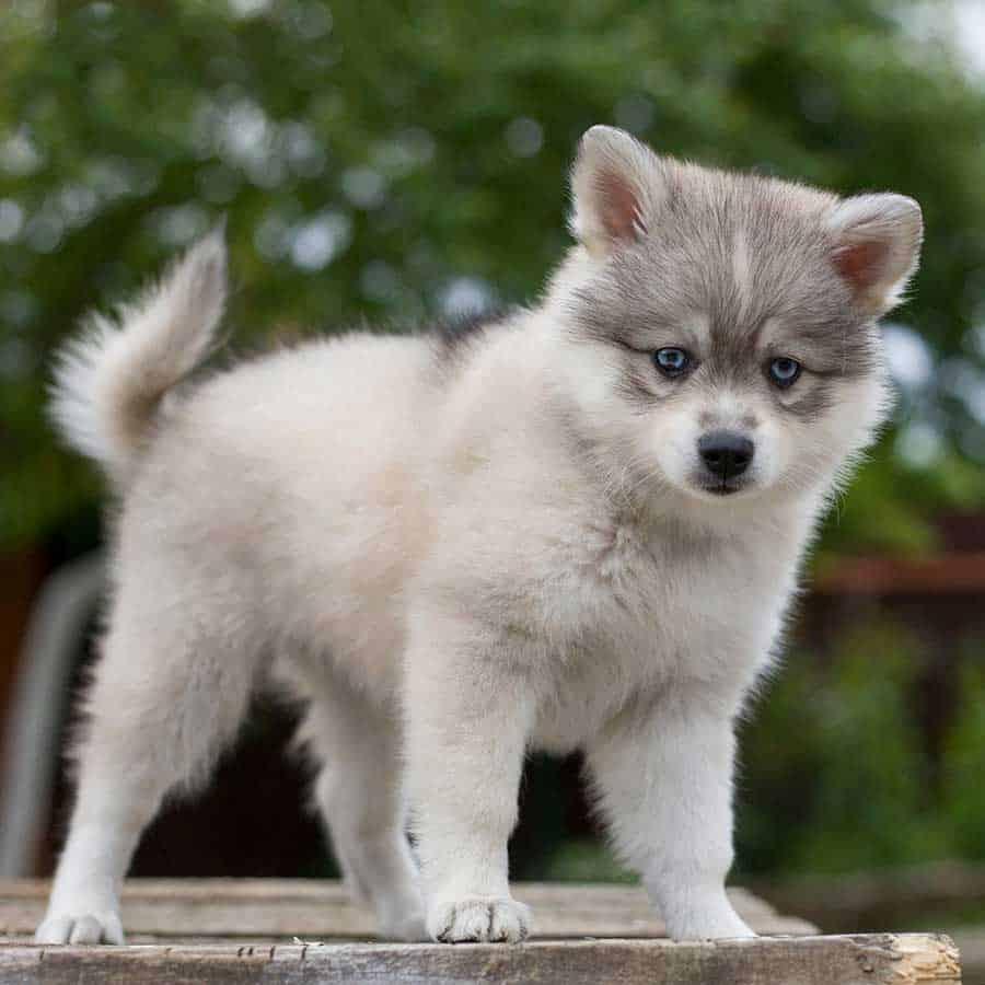 white mini husky with grey face mask