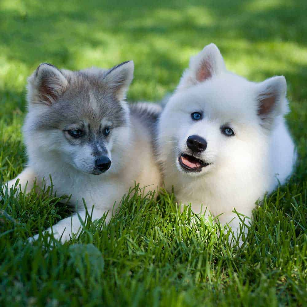 Two mini huskies lying on the grass