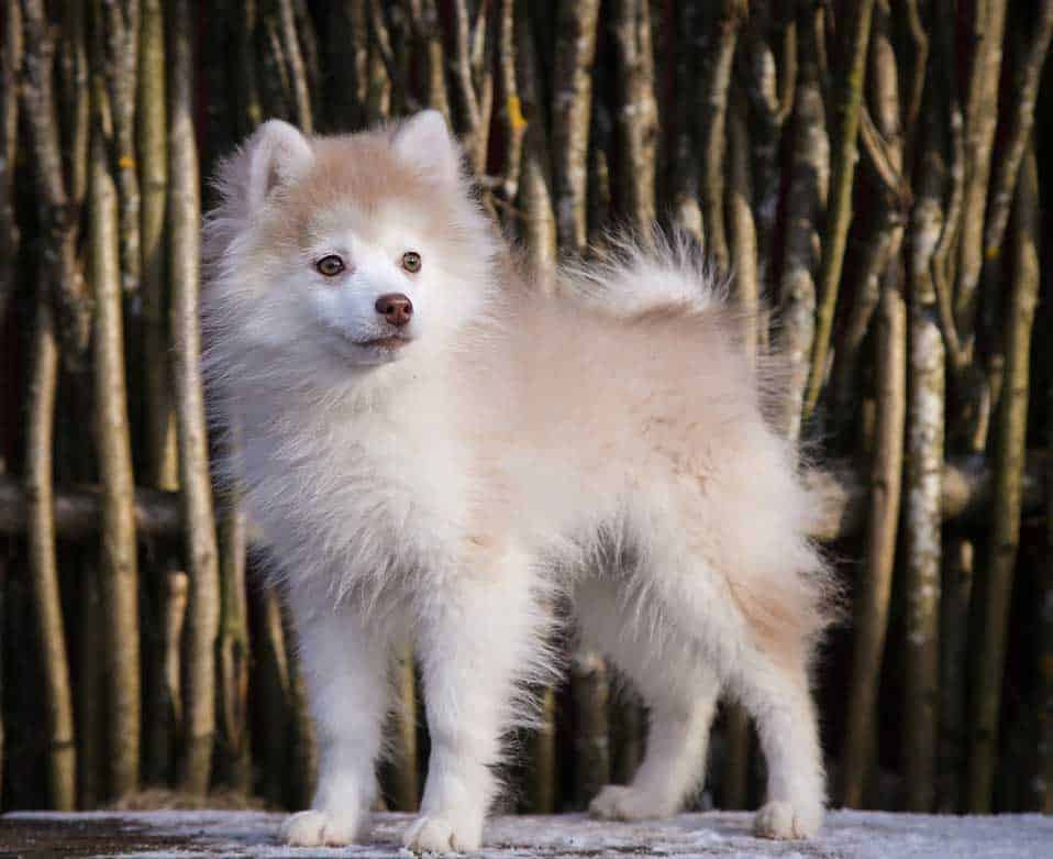 Yellow and white male pomsky puppy