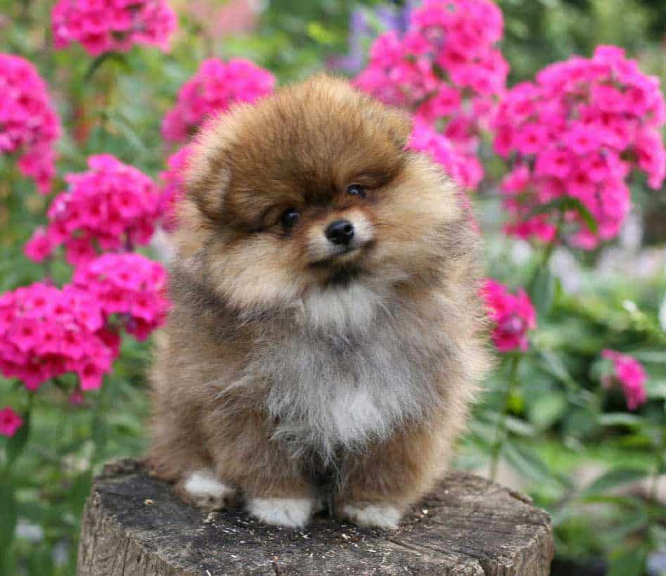 small brown and white pomeranian puppy sitting on the log with bright flowers on the background