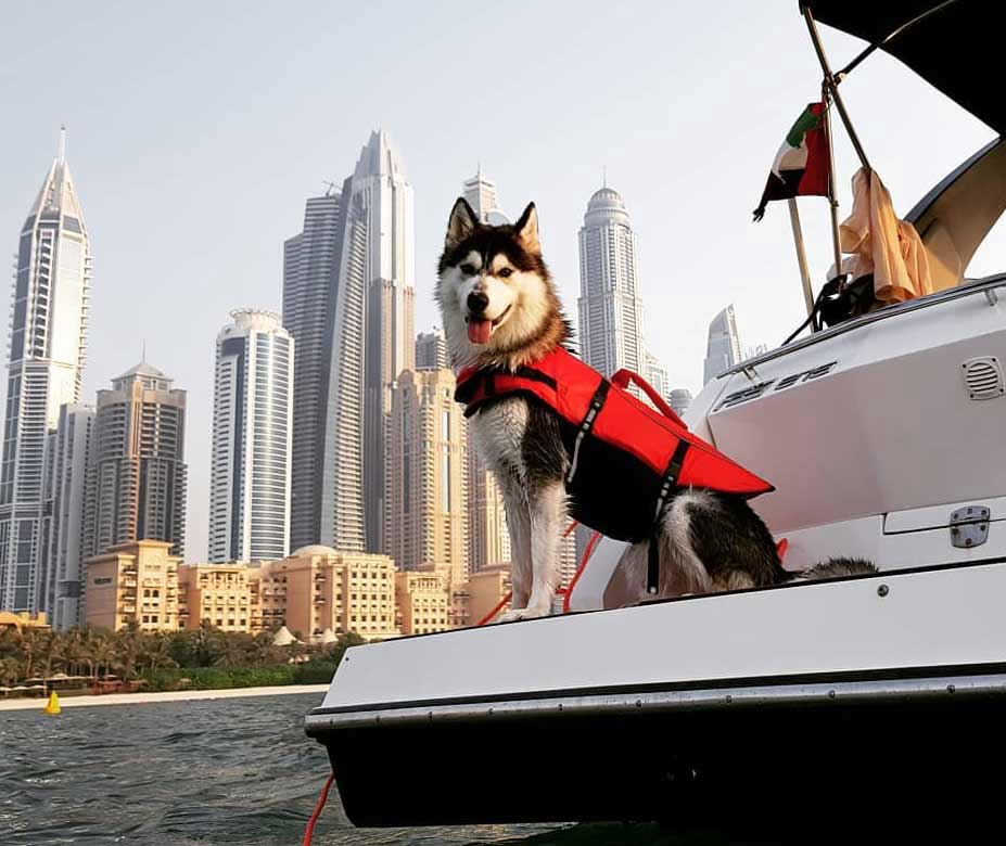 Siberian husmy on the boat in Dubai, wearing red lifejacket